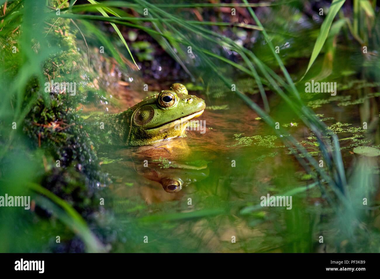 American Bullfrog (Lithobates catesbeianus) - Indian Point Trail - Il Giardino degli dèi, Shawnee National Forest, Illinois, Stati Uniti d'America Foto Stock