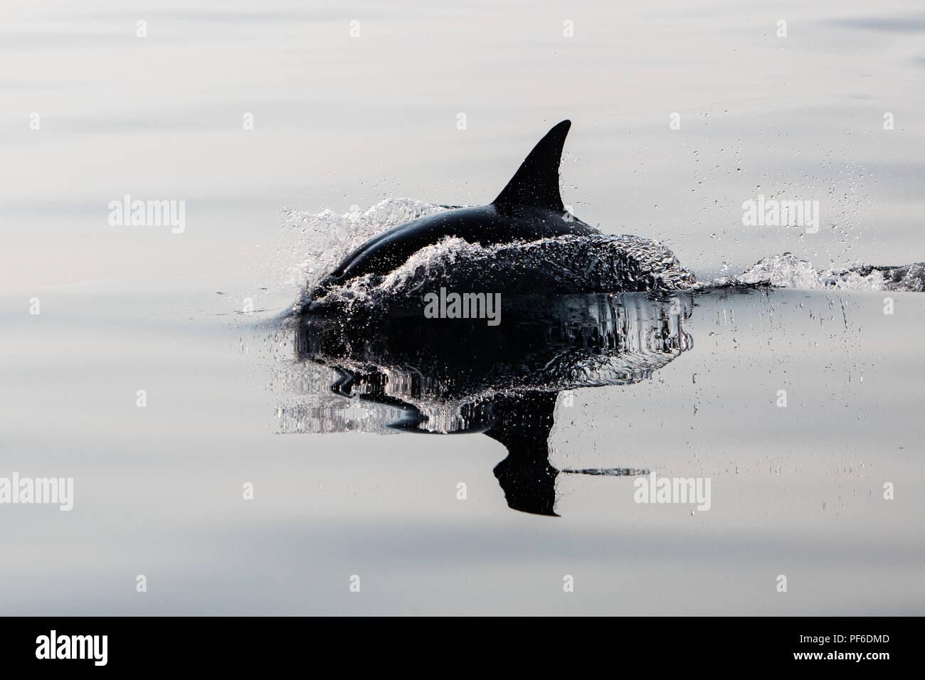 Una veloce e agile Short-Beaked delfino comune, Delphinus delphis, nuotate nell'Oceano Atlantico al largo di Capo Cod, Massachusetts. Immagini Stock