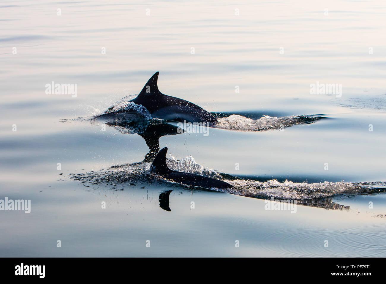 Una coppia di veloce e agile Short-Beaked delfini comuni, Delphinus delphis, nuotare nell'Oceano Atlantico al largo di Capo Cod, Massachusetts. Immagini Stock
