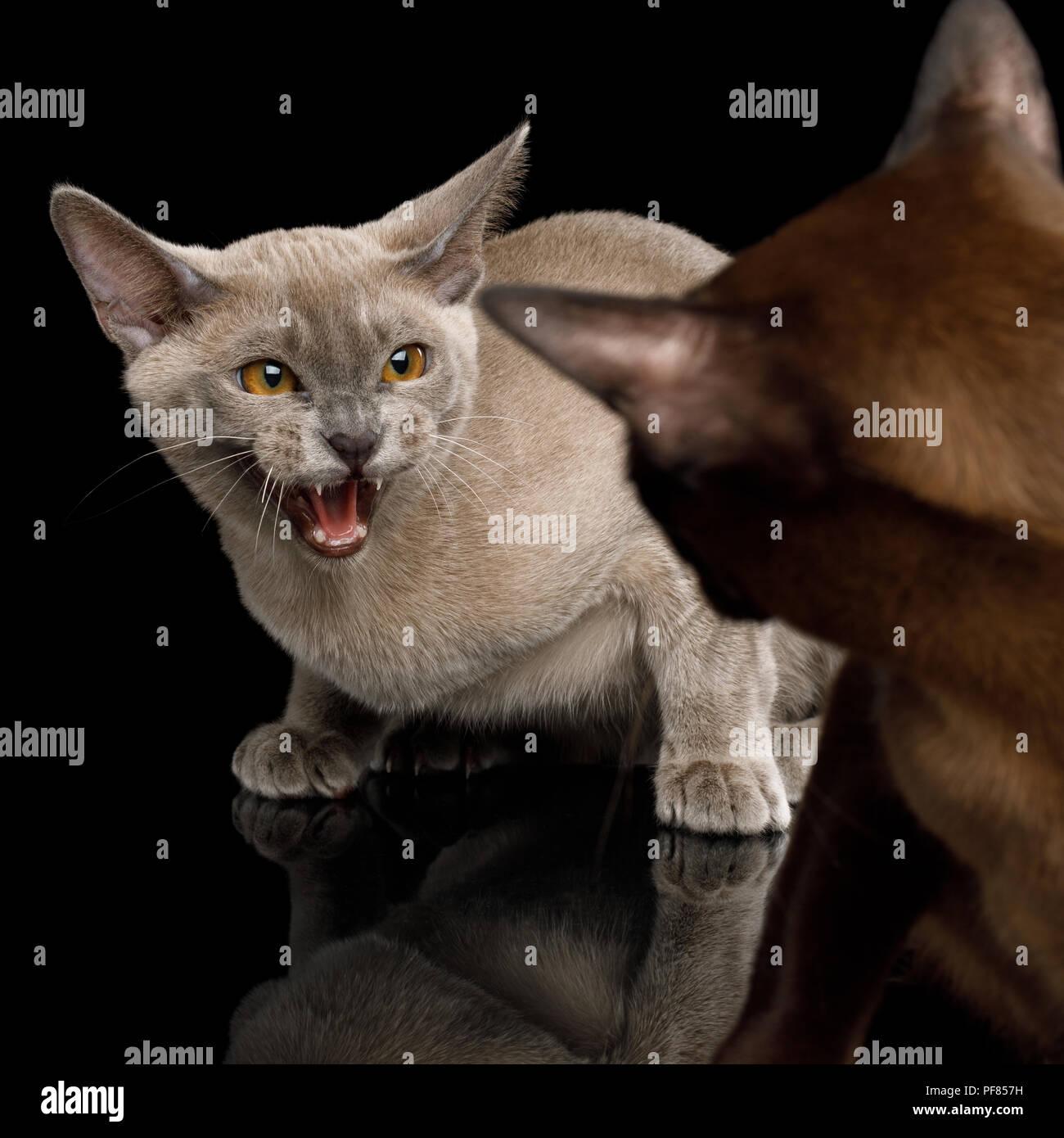 Primo Piano Due Gatti Arrabbiati Fischi Con La Paura Di Ogni Altro