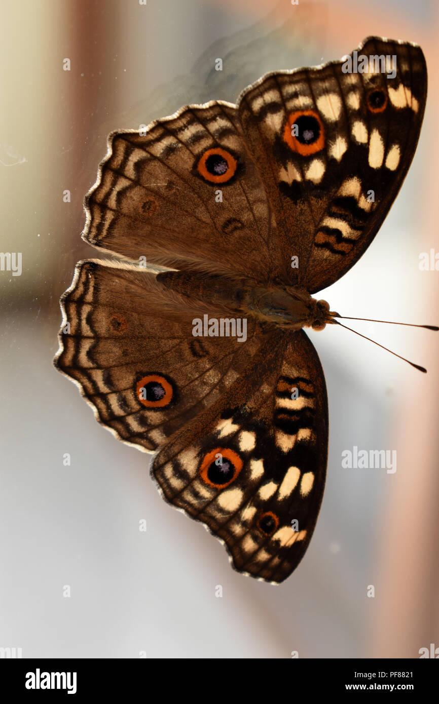 Limone pansy butterfly su un vetro di un finestrino. Immagini Stock