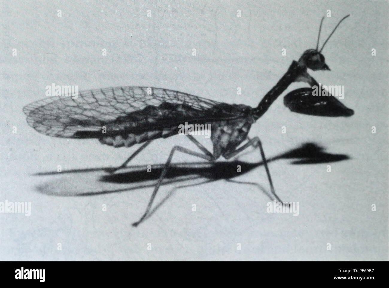 . Lo sviluppo dell'ecologia di Mantispa uhleri banche (Neuroptera: Mantispidae). Mantispa uhleri; insetti; Mantispa uhleri; gli insetti. 18 Mantispa uhleri banche il mantispid studiato da Bisset e Moran (1967); su ciascun segmento, i punti della sezione anteriore coppia di ganci progetto cephalad ed i punti della coppia posteriore progetto caudad, il vaso dorsale che corre tra i membri di ciascuna coppia. Dopo ecdysis all adulto, un buio, liquido di meconio è emessa dall'ano. Questo è in contrasto con il disco meconial pellet prodotti a eclosion da altri Neuroptera tranne il Conioptery- gidae (Withycom Foto Stock
