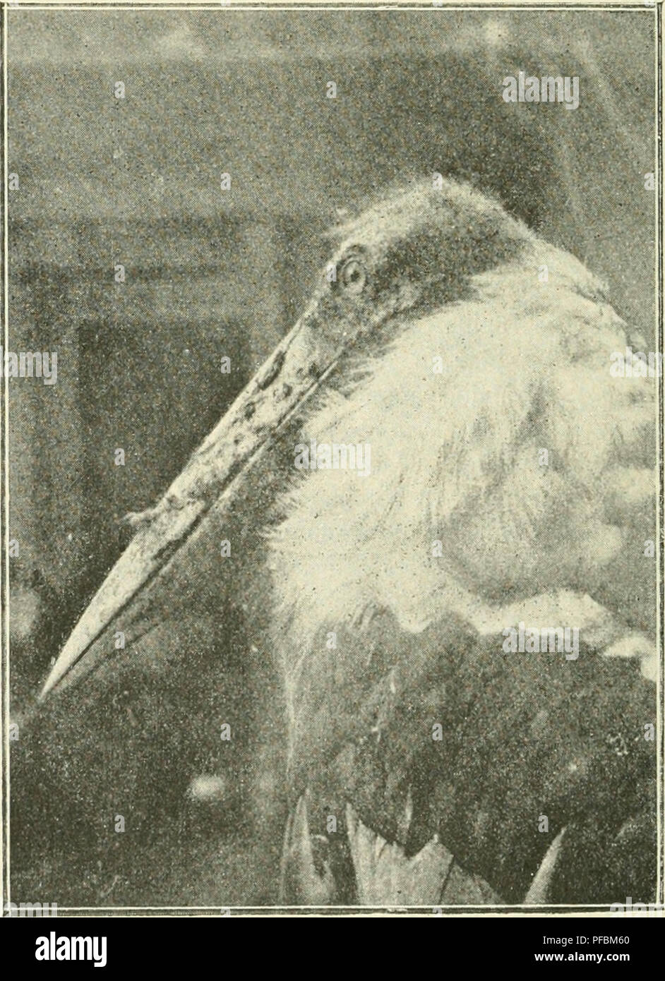 Der Ornithologische Beobachter. Gli Uccelli; Uccelli. 166 In Die Küche Kam .