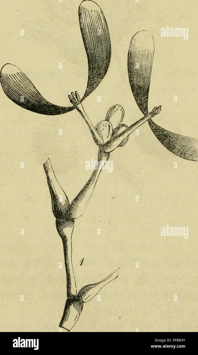 """. Der Führer in die Pflanzenwelt. Hülfsbuch zur Auffindung und Bestimmung der wichtigsten in Deutschland wild wachsenden Pflanzen. Piante. 52 )RTL. - I. S3äume unb @tröud^er. 16-29. ®te grüc^te ber ©eiüäc^fe t)ott 9h. 16_19. finb Pflaumen ober (Steinfrüchte (drupae), b. t. [(Eifc^tgc grüi^te, meiere eine 9orecchia ein= fc^üegen, bie in einer l^arten, oft ^^ol^igen ©(^ale ben ®amen!ern enthält. 20. Viscum älbum L. SHiftel,^t mit, S^ogeUeimftrauc^, S3ig:§er fugten tt)ir bie """"ißftanjen auf ber @rbe; je^t njoüen esso)ir onu= fere 33(icfe emporheben gv ben ©tafeln ber 33äume. 5lnt ^ufigften un Foto Stock"""