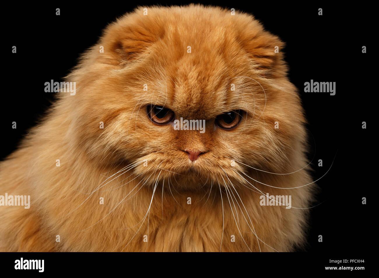 Close Up Ritratto Di Grumpy Red Scottish Fold Highland Razza Gatto