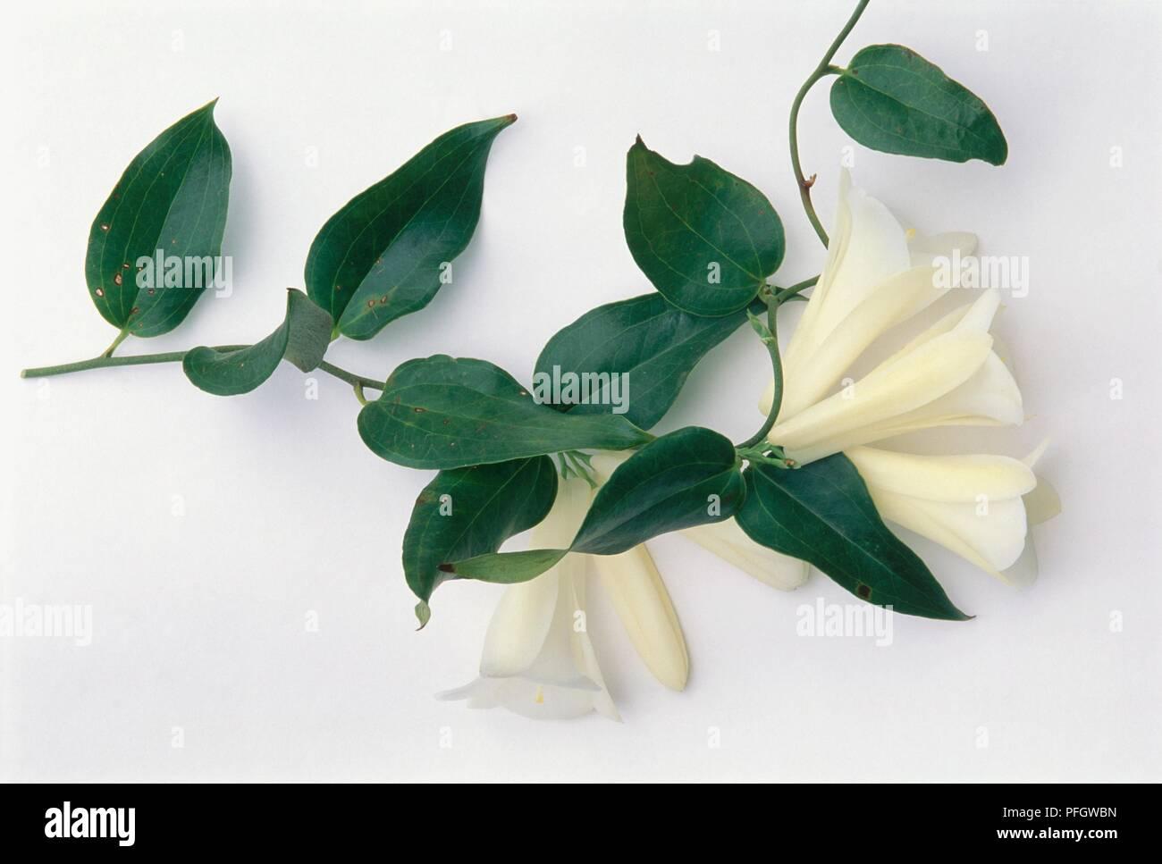 Fiori Bianchi Gambo Lungo.Lapageria Rosea Var Albiflora Campanula Cileno Fiori Bianchi E