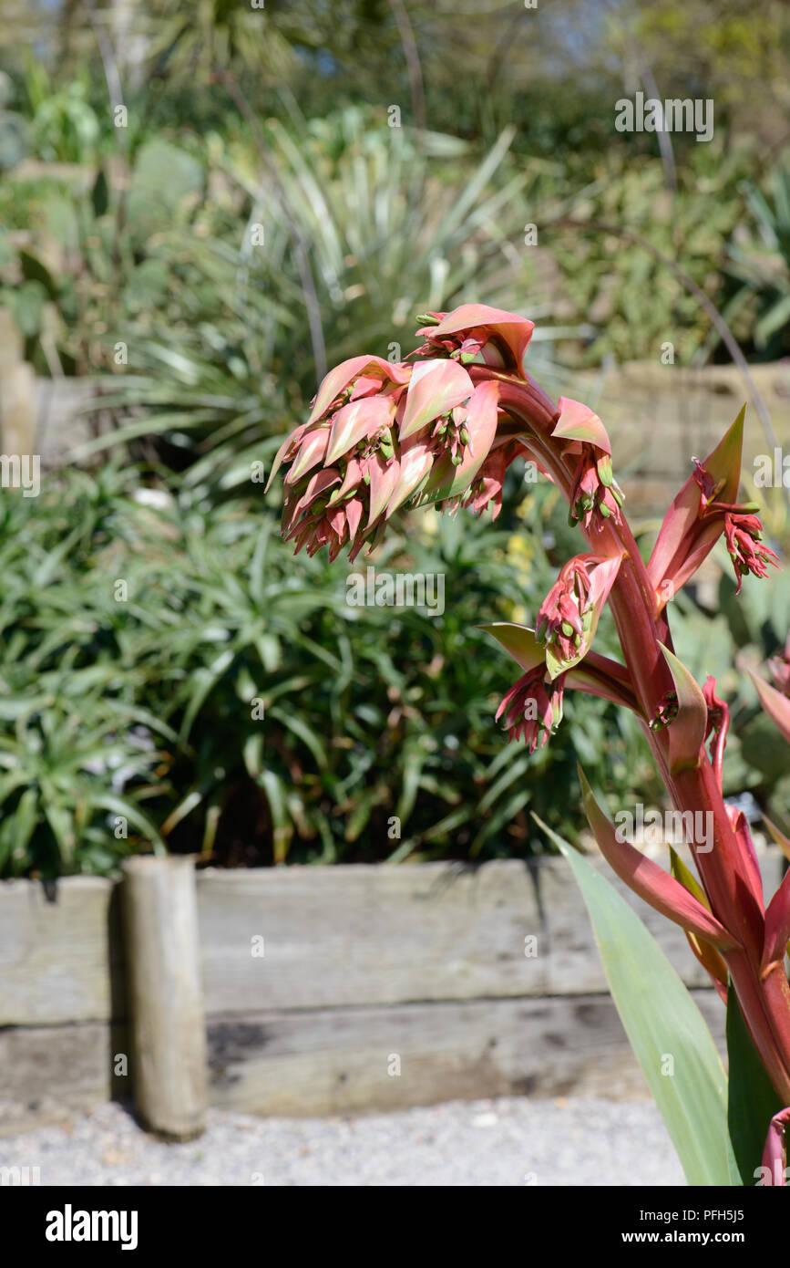 Beschomeria yuccoides, sebbene questa pianta è un bel compagno nel proprio diritto produce alcuni abbastanza sci-fi picchi di fioritura. Immagini Stock