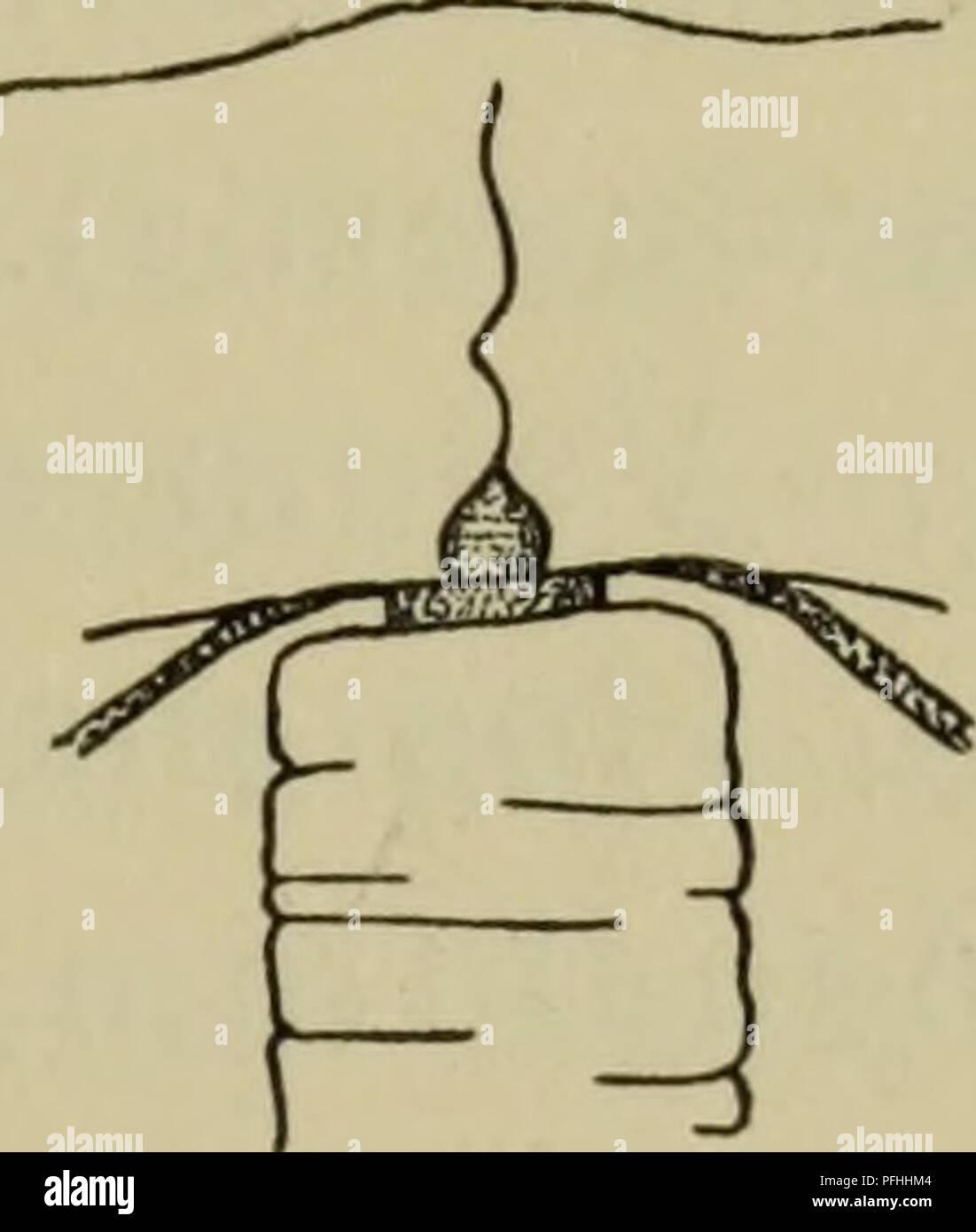 . Danmarks fauna; illustrerede haandbøger su den danske dyreverden... . 19 cyster (isaer hos Margeliderne). Maven er hyppigst flaskeformet, af meget forskellig Størrelse; ho tane Sidevaegge ligger Gonaderne (som hos enkelte per- mer kan straekke sig et kort Stykke ud langs Radiaerkanalerne). Gonaderne kan danne en anello sluttet omkring manubrio eller ved lodrette stri- ber vaere delt i 4 interradiale eller 8 adradiale dele sjaeldnere (er der 5 eller et andet Antal Gonader). Undertiden Maven er ikke faestet direkte til Subumbrella, uomini til en fra dennes Midte udgaaende gelatinøs Udvaext, der kaldes ma Foto Stock