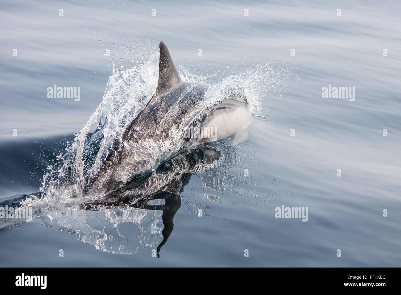 Un agile Short-Beaked delfino comune, Delphinus delphis, nuotate nell'Oceano Atlantico al largo di Capo Cod, Massachusetts. Foto Stock