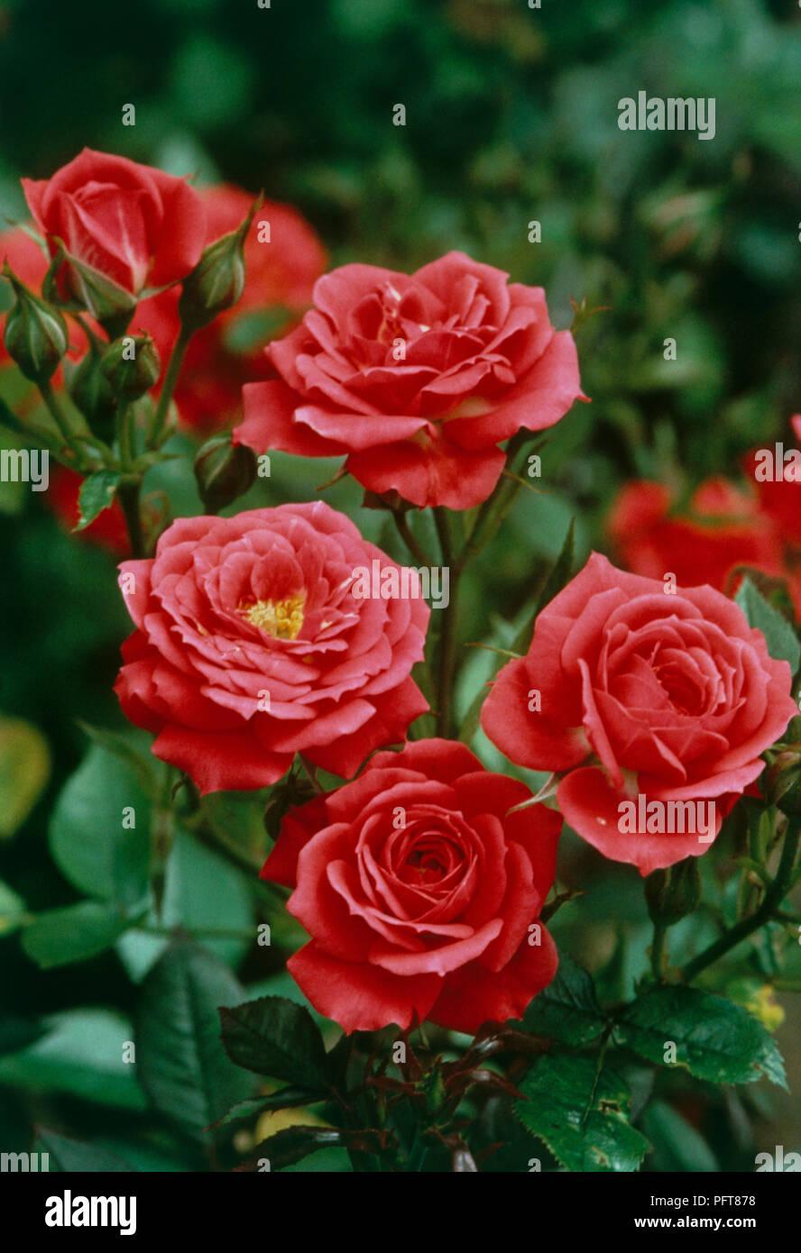 Fiori Tipo Rose.I Fiori Di Rosa Heri Anne Un Tipo Di Rose In Miniatura Foto