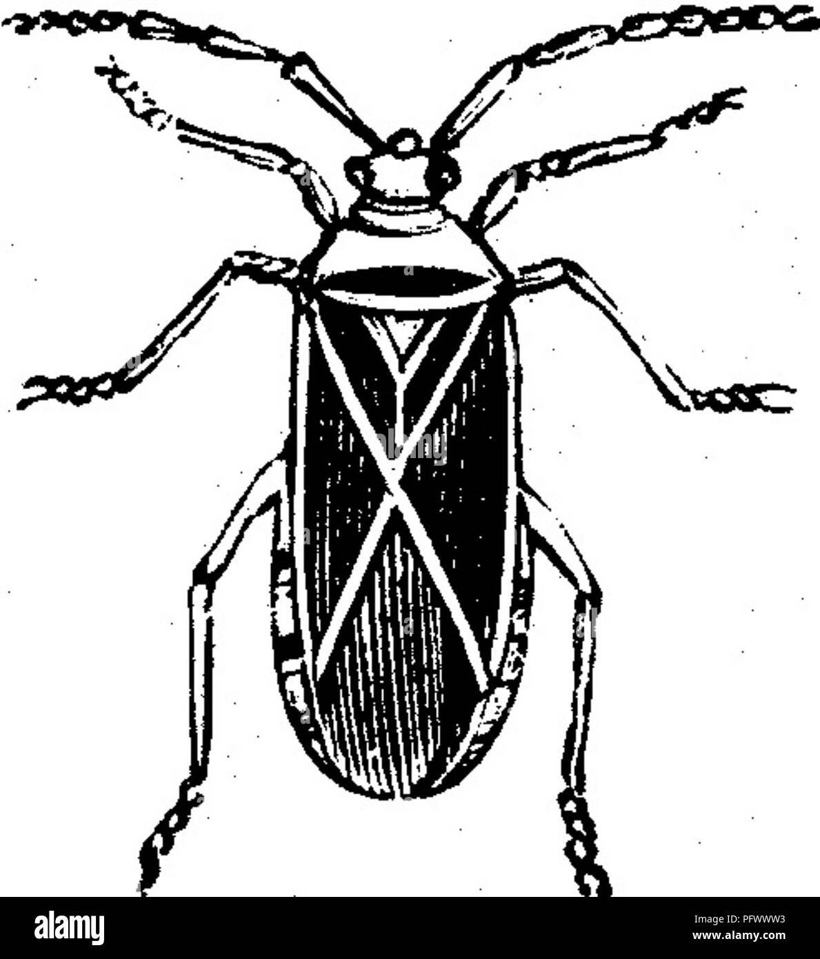 Bug nero Dicks