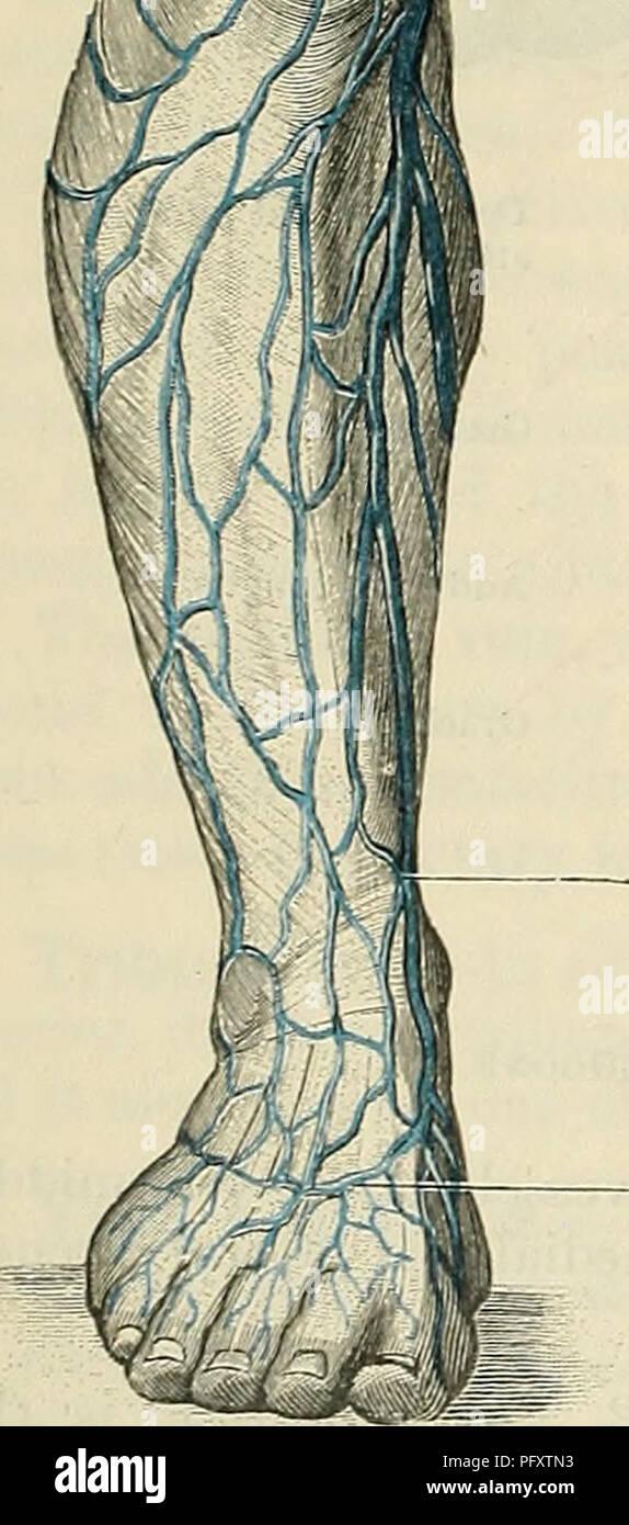 Cunningham il libro di testo di anatomia. Anatomia. Vena grande ...