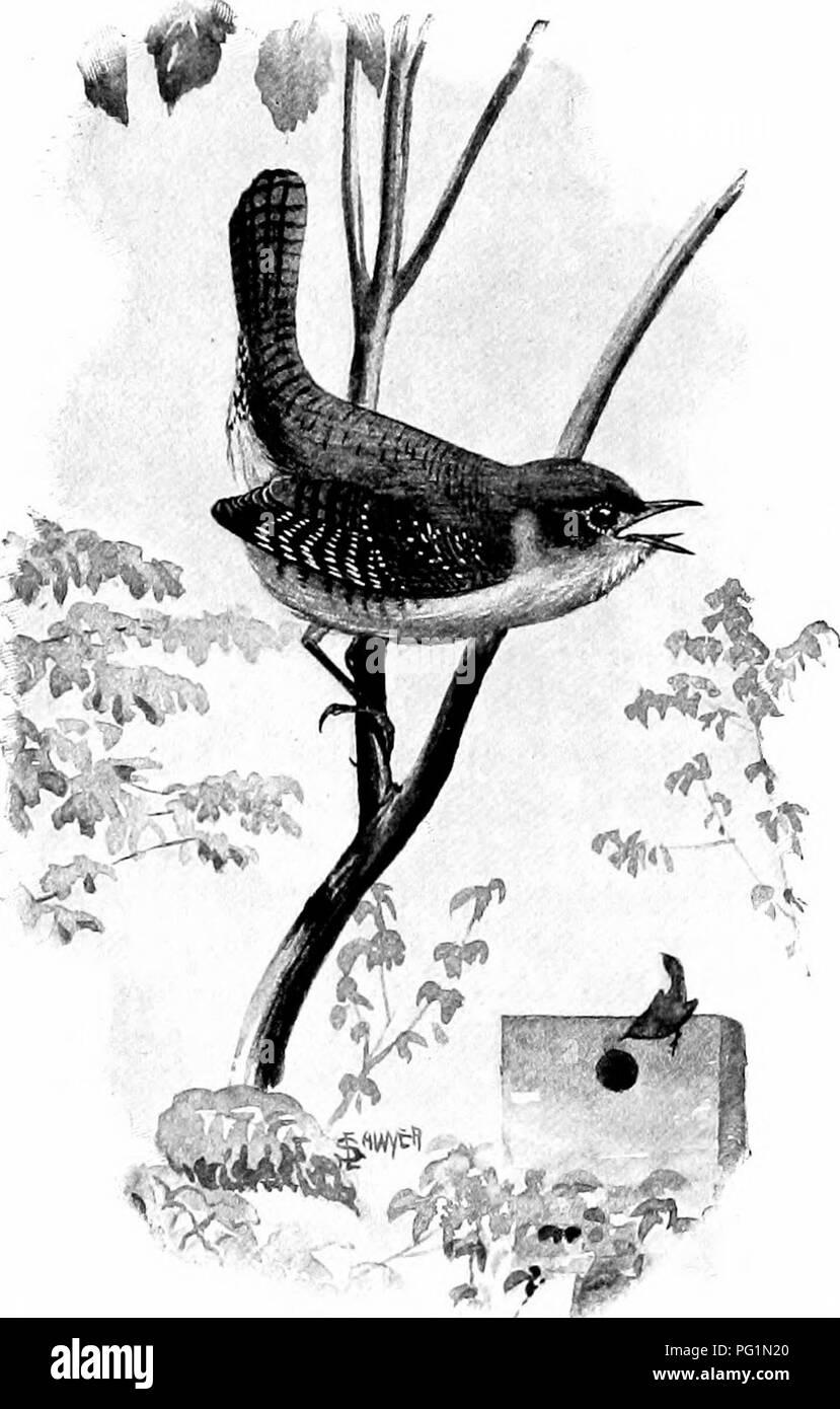 . L'American Natural History; una base di conoscenze utili degli animali superiori del Nord America. Storia naturale. Il beffardo-BIKD 187. Casa-WREN. iike la plaintive mew di un semi-cresciute gattino. La sua prevalente è di colore scuro, slaty grigio. Il Mocking-Bird,i degli stati a sud del fiume Ohio, è una meraviglia di canto. Si tratta di un piccolo fascio di nervi, coperto con modesti scialbi piume e la sua gola è sintonizzato fino al passo di concerto. Quando è silenzioso, può essere riconosciuta dal suo corpo sottile lungo le gambe e lunga coda; ma quando si tratta di cantare, solo un sordo ha bisogno di un'in- lessici tematici interforze. Questo uccello ca Immagini Stock