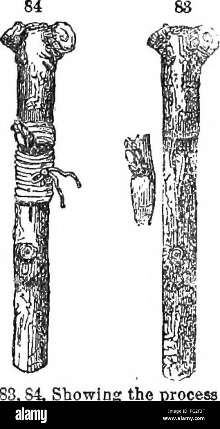. Classe-libro di botanica : essendo i contorni della struttura, la fisiologia e la classificazione delle piante ; con una flora di Stati Uniti e Canada . La botanica; botanica; Botanica. VorDatiiin. 77, della foglia bivch; 7S, di liliic, (iin!)ni;:ilv); 79, clieiry foglie, (convoluto) ; 80, anatra bud, (roYolute); 81, b.-iiui di Gilcad, (involversi). 214. Il generale vernation è distinto in modo lasco in botanica descrittivo come valvate (bordi riunione), e embricato (bordi sovrapposti), termini per essere notato qui di seguito. La val- vate si verifica più spesso nelle piante con foglie opposte, embricata è vernation Equitant (ridin Foto Stock