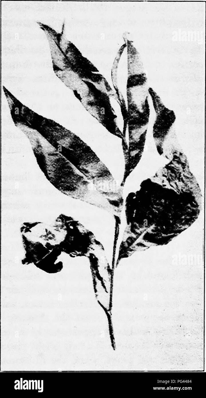 . Un libro di testo di micologia e patologia vegetale . Le malattie delle piante; funghi in agricoltura; malattie delle piante; funghi. Resoconto dettagliato di specifiche malattie delle piante S3S si aprono, il curling ed inarcamento delle lame si manifestano. L'arricciatura può essere limitata a una piccola porzione di una foglia, o può essere di carattere generale e tutte le foglie di un albero può essere.colpite, come pure i giovani lo stelo su cui^si trovano. Il verde o il rosso, colore del. Fig. 192.-foglie di pesco deformata da leaf curl {Exoascus reumatoide). (.Dopo il liccio, F. D., Boll. 135 {Sci. Ser. 14), Univ. di Tex., nov. 15, 1909). le foglie è perso Immagini Stock