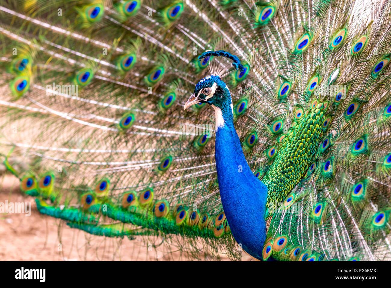 Immagine ravvicinata di un pavone Immagini Stock