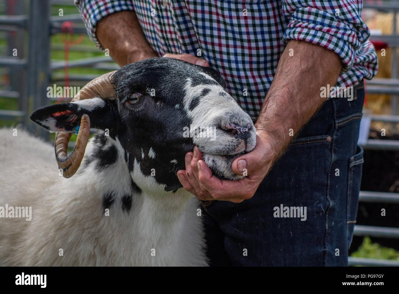 Il campione globale in classi di pecora a Hawkshead Show 2018 Immagini Stock