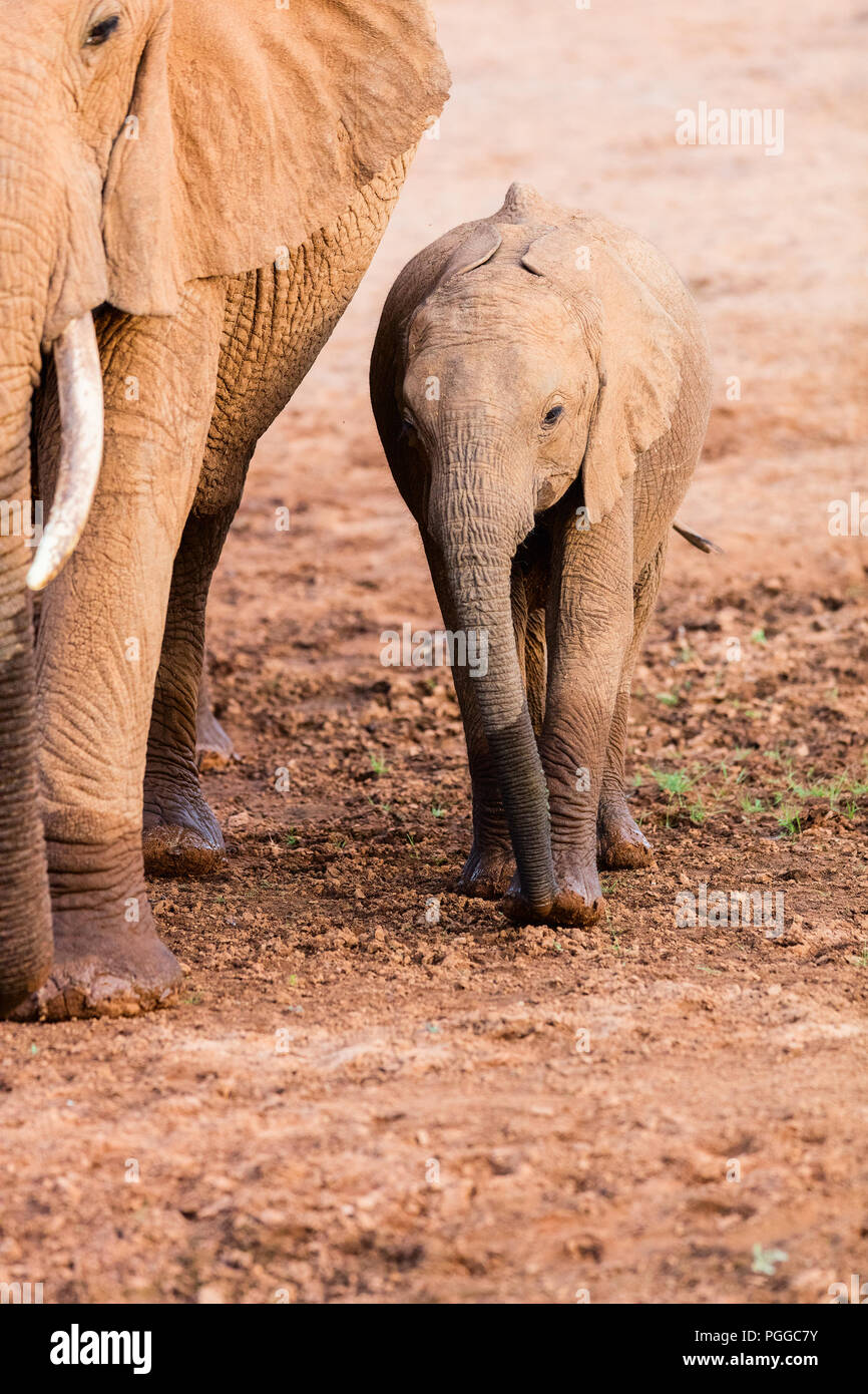 Close up baby elephant nel parco di safari Immagini Stock