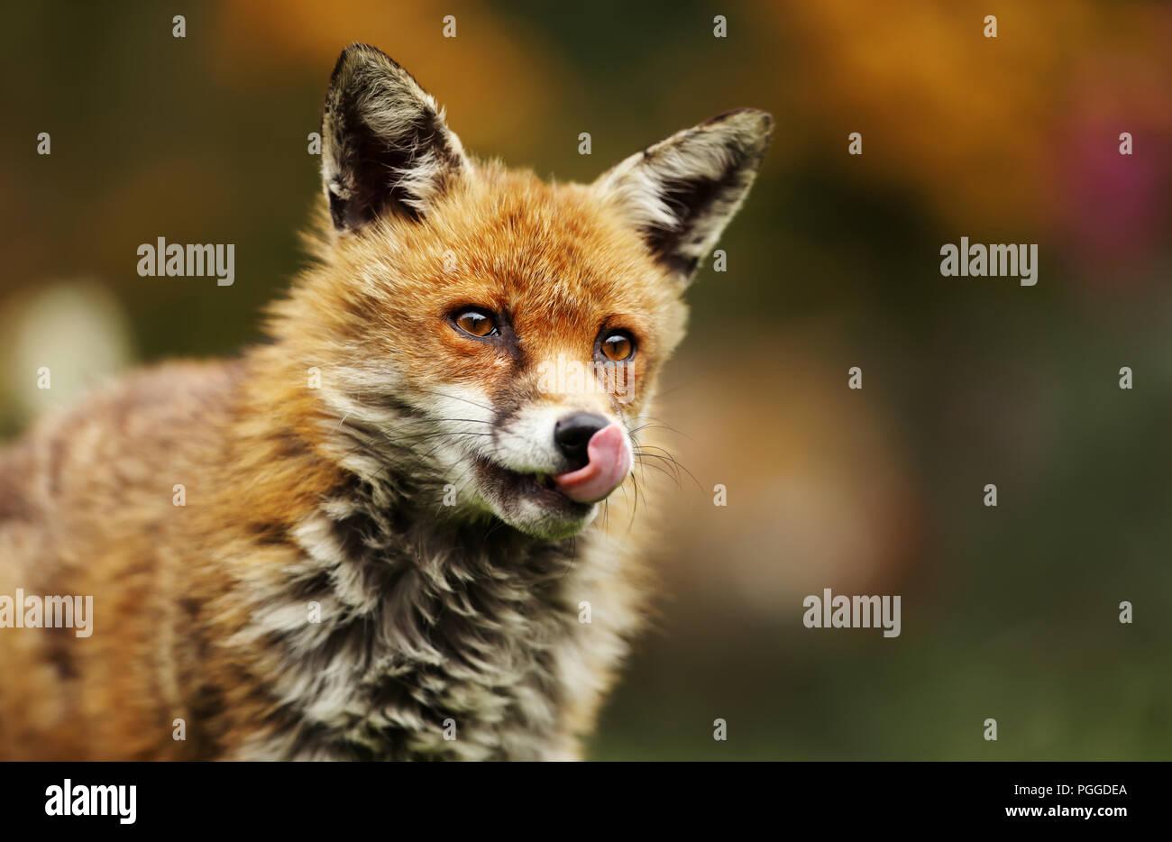 Close-up di una volpe rossa con la sua linguetta sporgente durante una visita nel giardino, UK. Immagini Stock