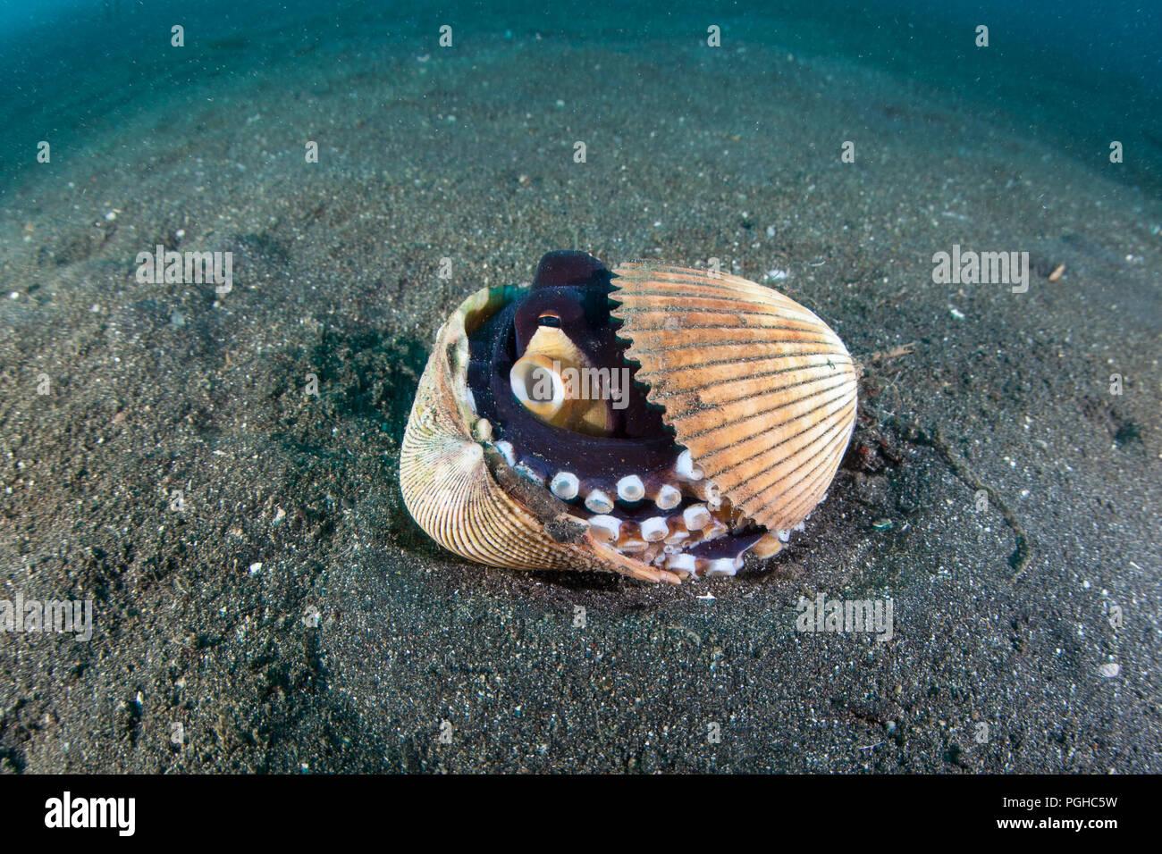 Una noce di cocco octopus utilizza vuoti gusci di vongole per nascondere il nero del fondale di sabbia di Lembeh strait. Immagini Stock