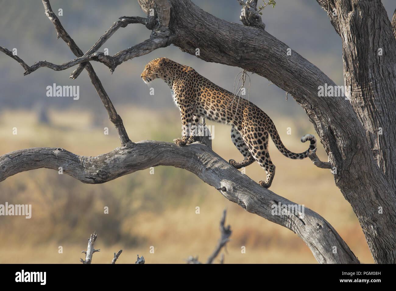 Leopard in Moremi Immagini Stock