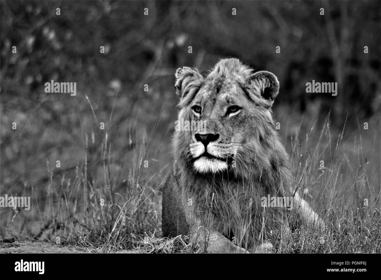 Majestic capretti Lion in nero 'n White Immagini Stock