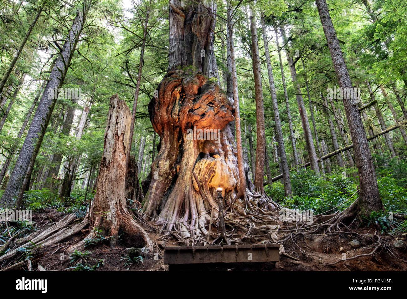 Canada's gnarliest tree - Avatar Grove - vicino a Port Renfrew, Isola di Vancouver, British Columbia, Canada Immagini Stock