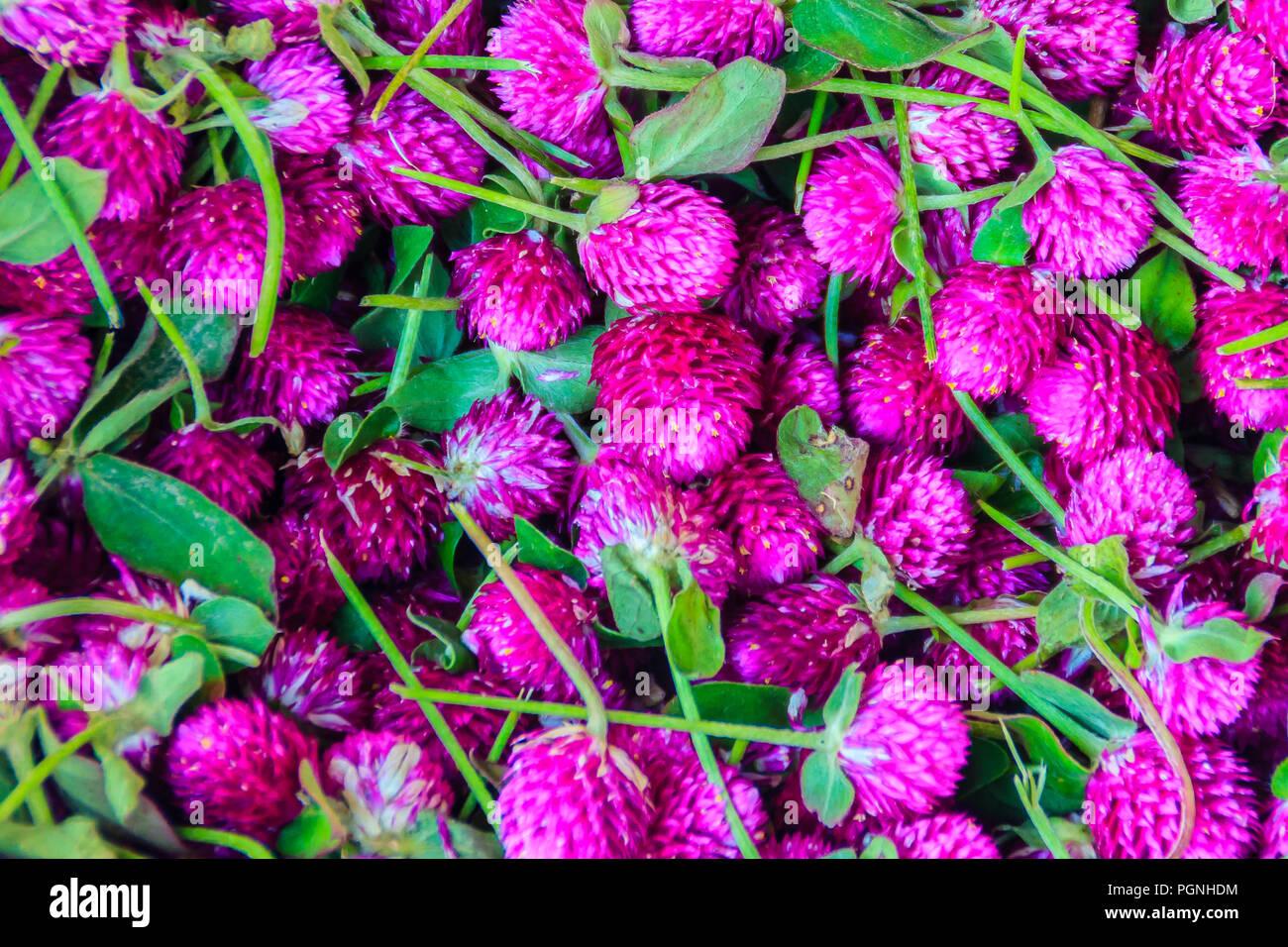 Vista del globo, eterna Gomphrena weed , perlacea perenne del bachelor di tasto del globo, amaranto, button agaga fiore per la vendita nel mercato dei fiori di un Immagini Stock