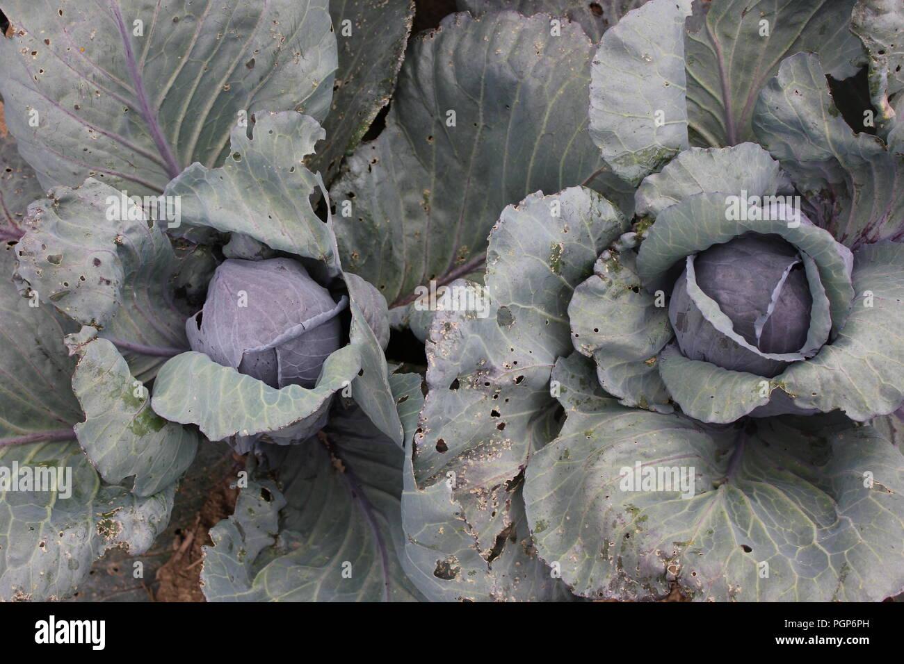 Teste di cavolo viola cresce a Wagner Farm comunità giardino di Glenview, Illinois, Stati Uniti d'America. Immagini Stock