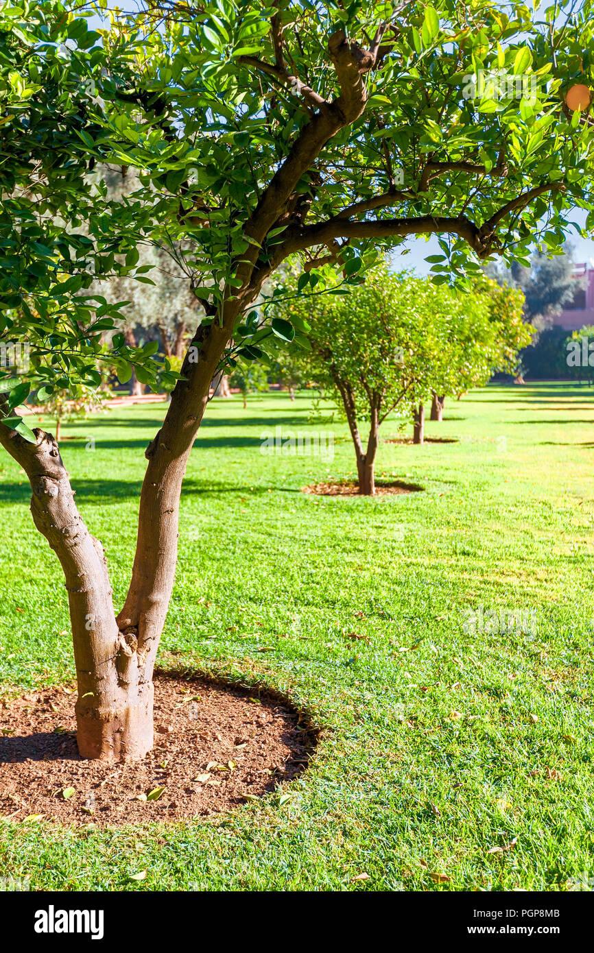 3cbe5ee417fc Fila di alberi di arancio piantato in erba verde. Curato giardino si trova  a Marrakesh