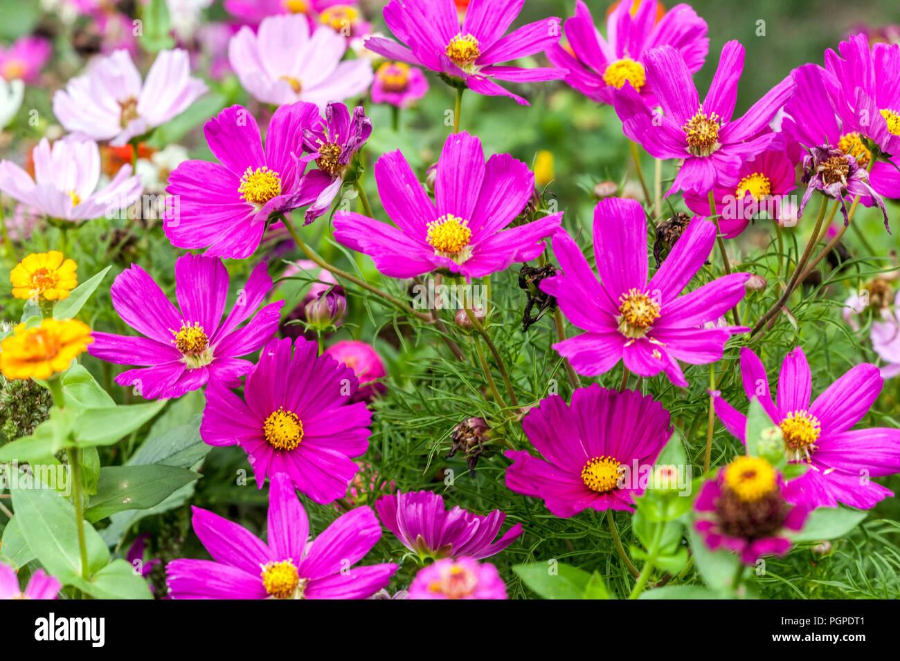 Mixed garden border cosmos immagini mixed garden border cosmos