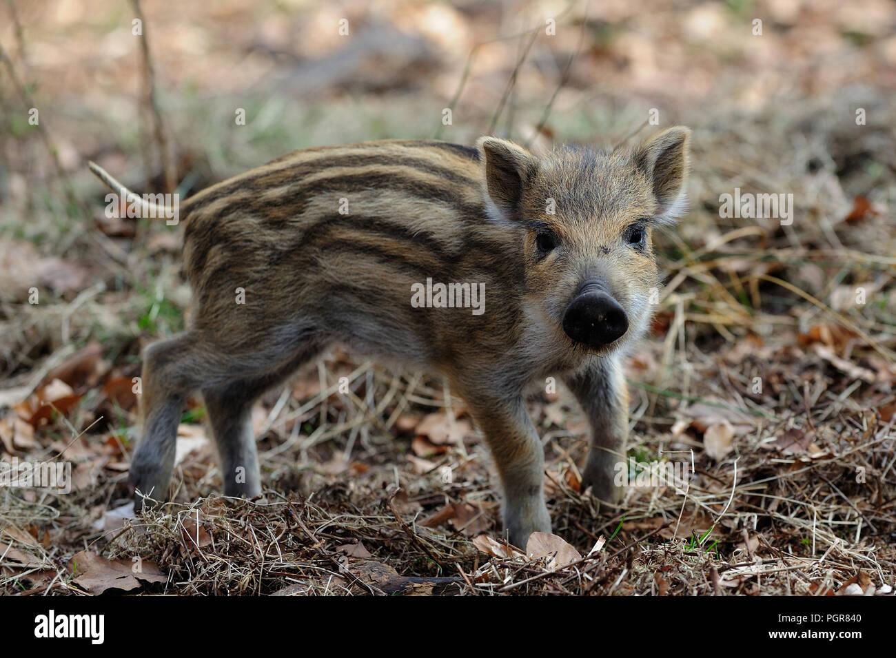 Il cinghiale piglet in foresta, molla, Germania (Sus scrofa) Immagini Stock