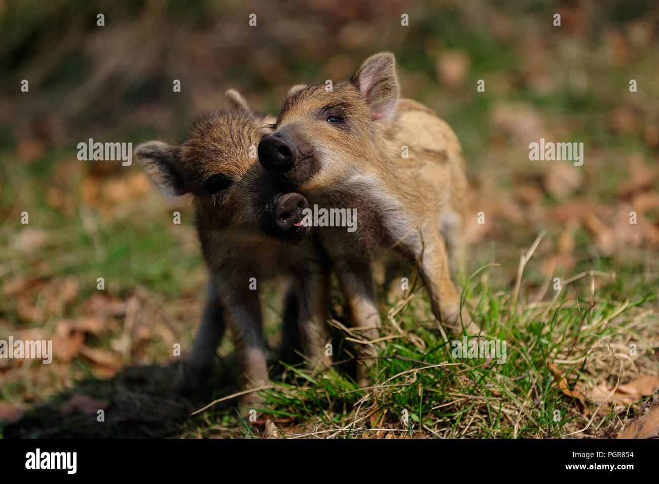 Il cinghiale di suinetti di riproduzione di lotta nella foresta, molla, Germania (Sus scrofa) Immagini Stock