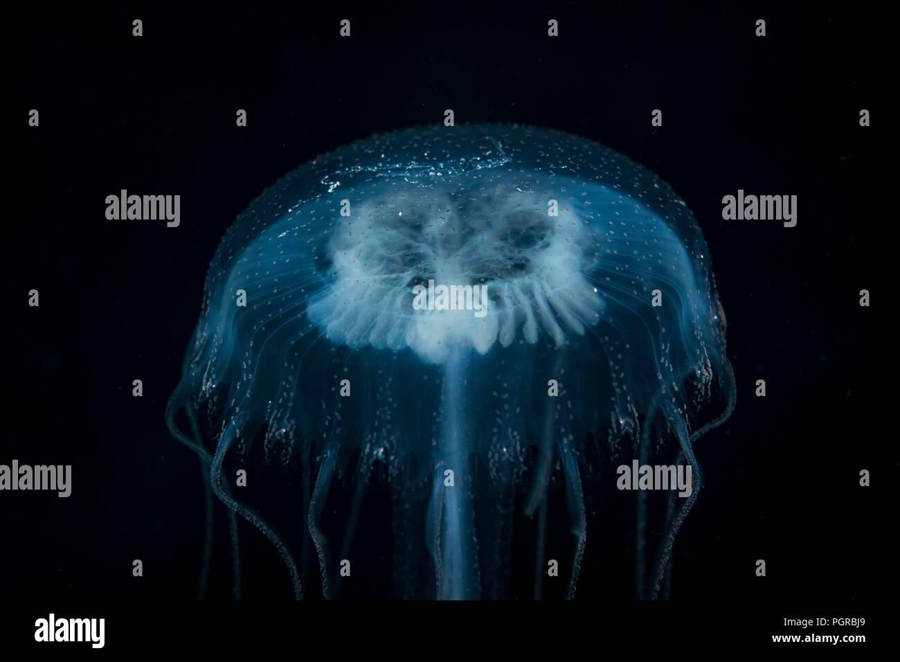 Comune di meduse, Aurelia, ritratto su sfondo nero, preso il deep sea in Egitto Immagini Stock