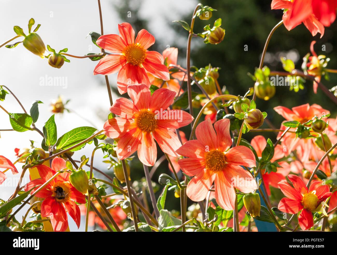 Fiori Arancioni.Molti Fiori Arancioni E Gemme Aster Con Sottili Petali Di Colore