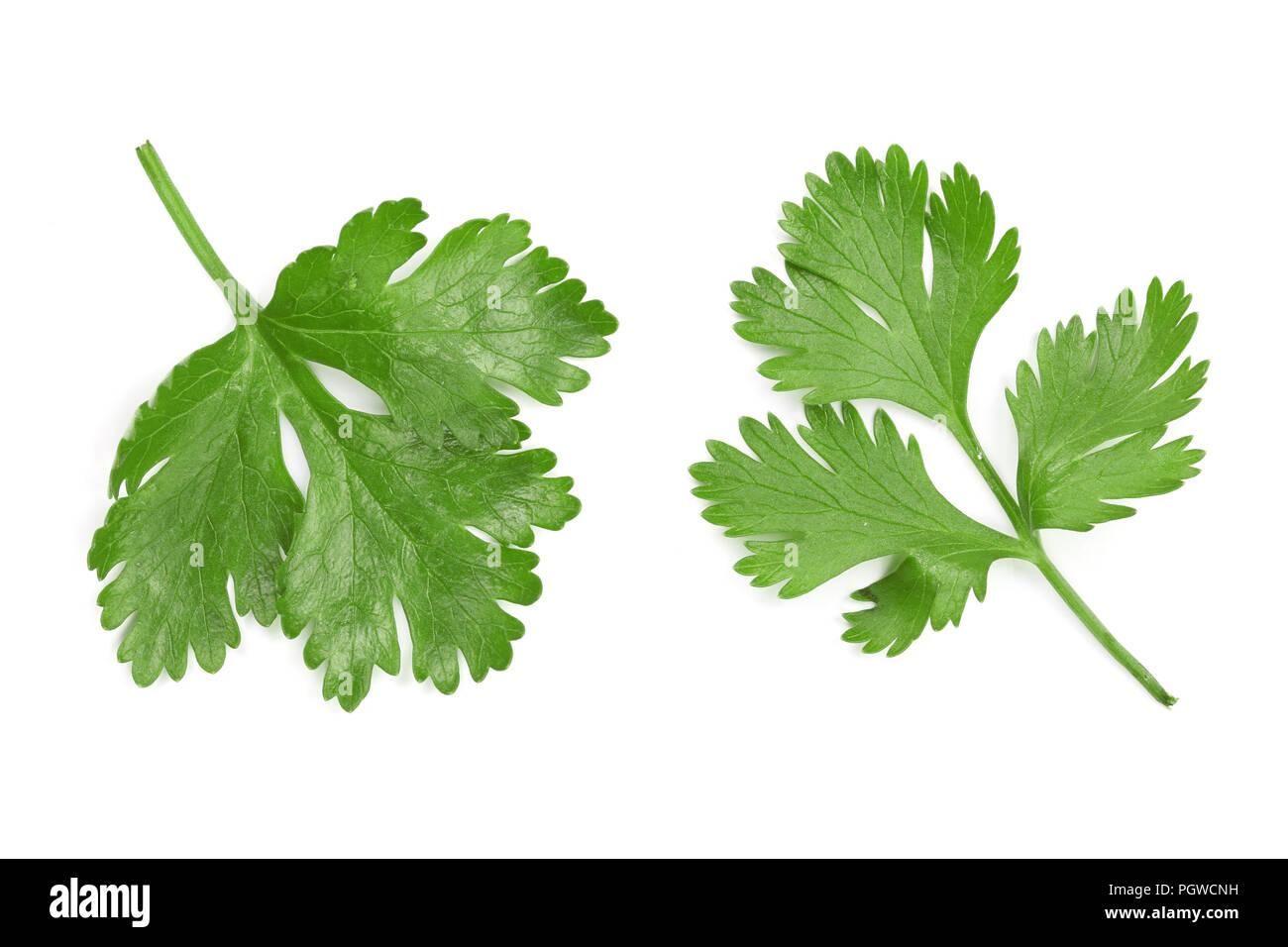 Il coriandolo o foglie di coriandolo isolati su sfondo bianco. Vista dall'alto. Piatto modello di laici Immagini Stock