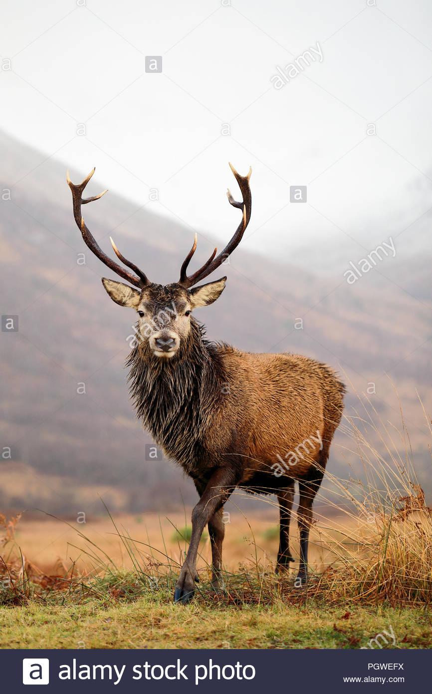 Un maestoso cervo rosso cervo nelle Highlands Scozzesi. Foto Stock
