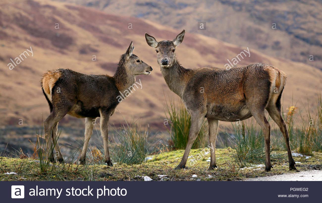 Due giovani Scottish cervi fotografati a Glencoe, Scozia. Foto Stock