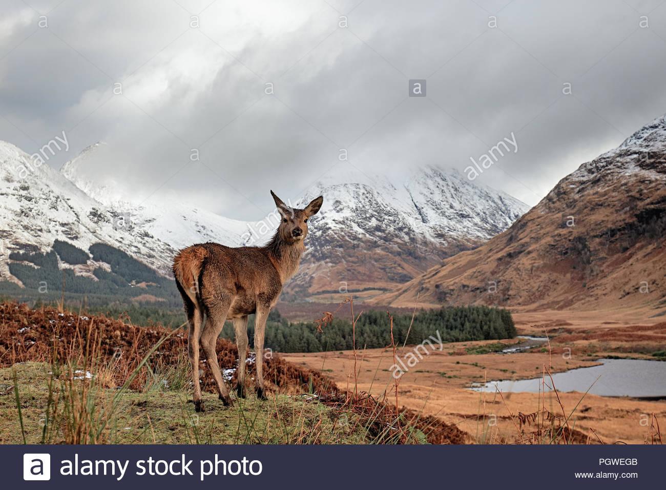 Un giovane cervo rosso nelle Highlands Scozzesi. Foto Stock