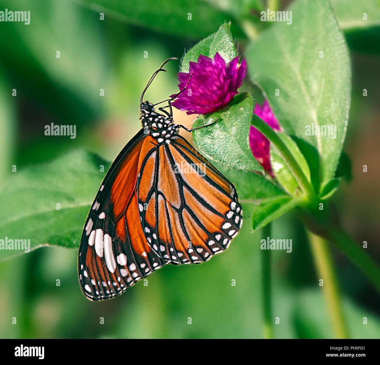 Danaus genutia o orientale tigre a strisce arancione farfalla su un fiore viola di gomphrena globose o comune di amaranto del globo. Immagini Stock