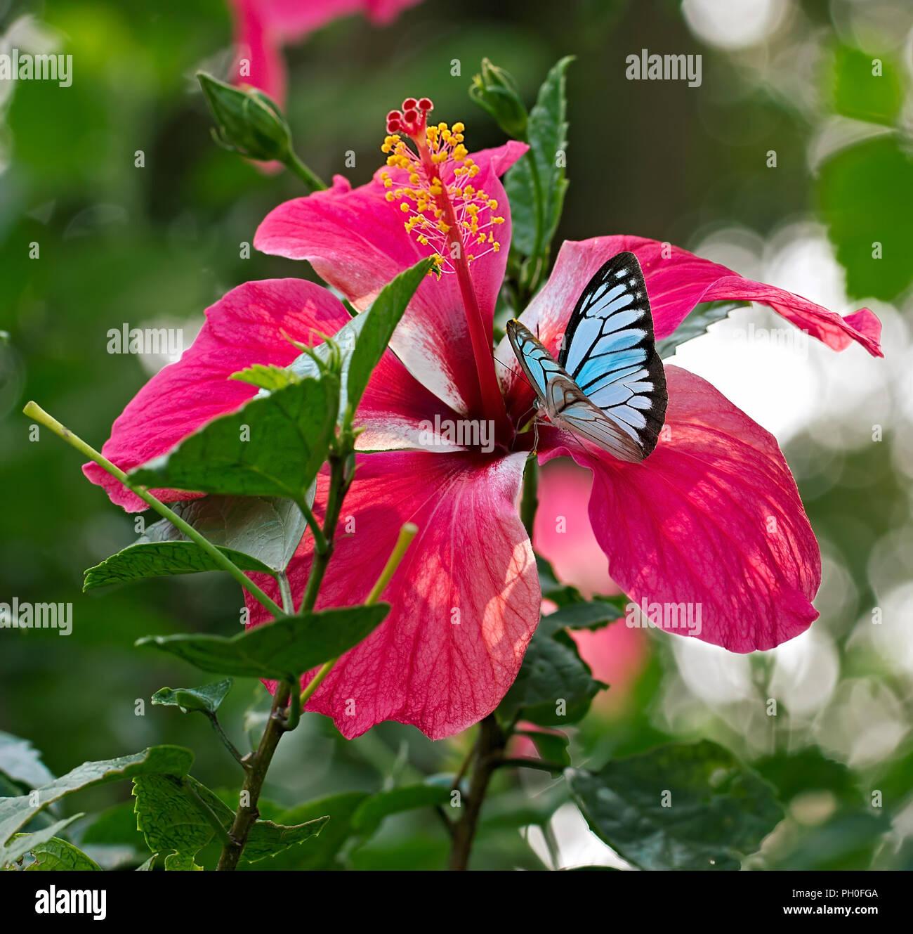 Blue Butterfly Pareronia valeria o comuni o Wanderer, la famiglia Pieridae, su un fiore rosa Hibiscus rosa-sinensis. Immagini Stock