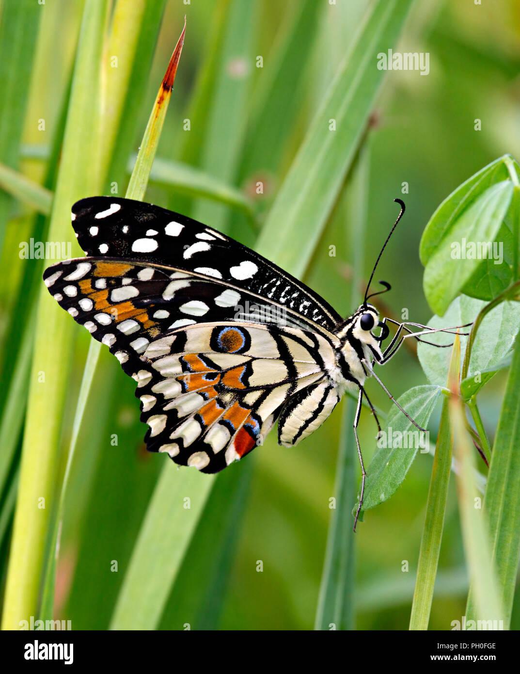 Papilio demoleus o calce butterfly nell'erba verde Immagini Stock