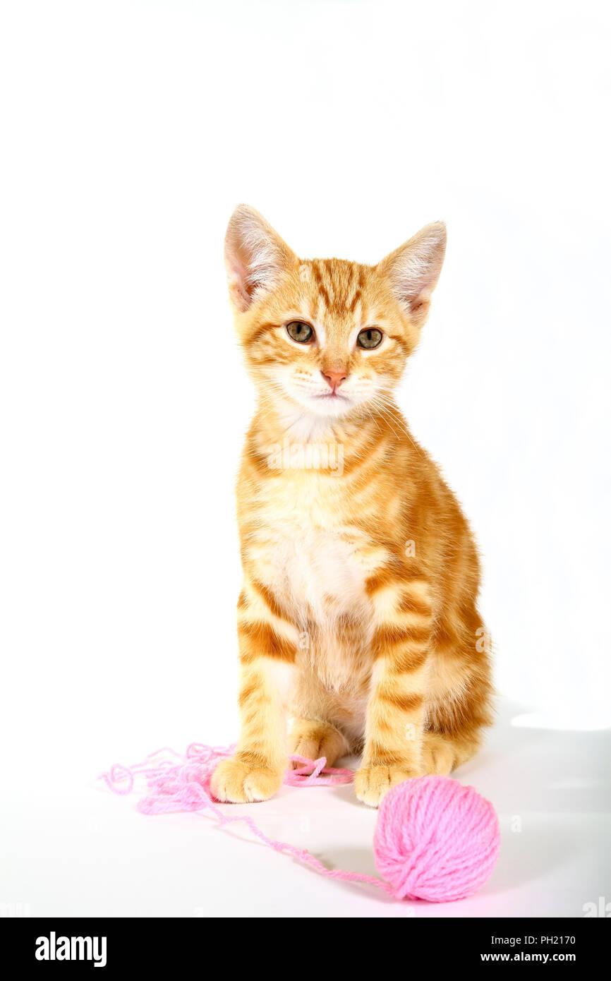 Lo zenzero sgombri tabby kitten giocando con una palla di lana di colore rosa Foto Stock