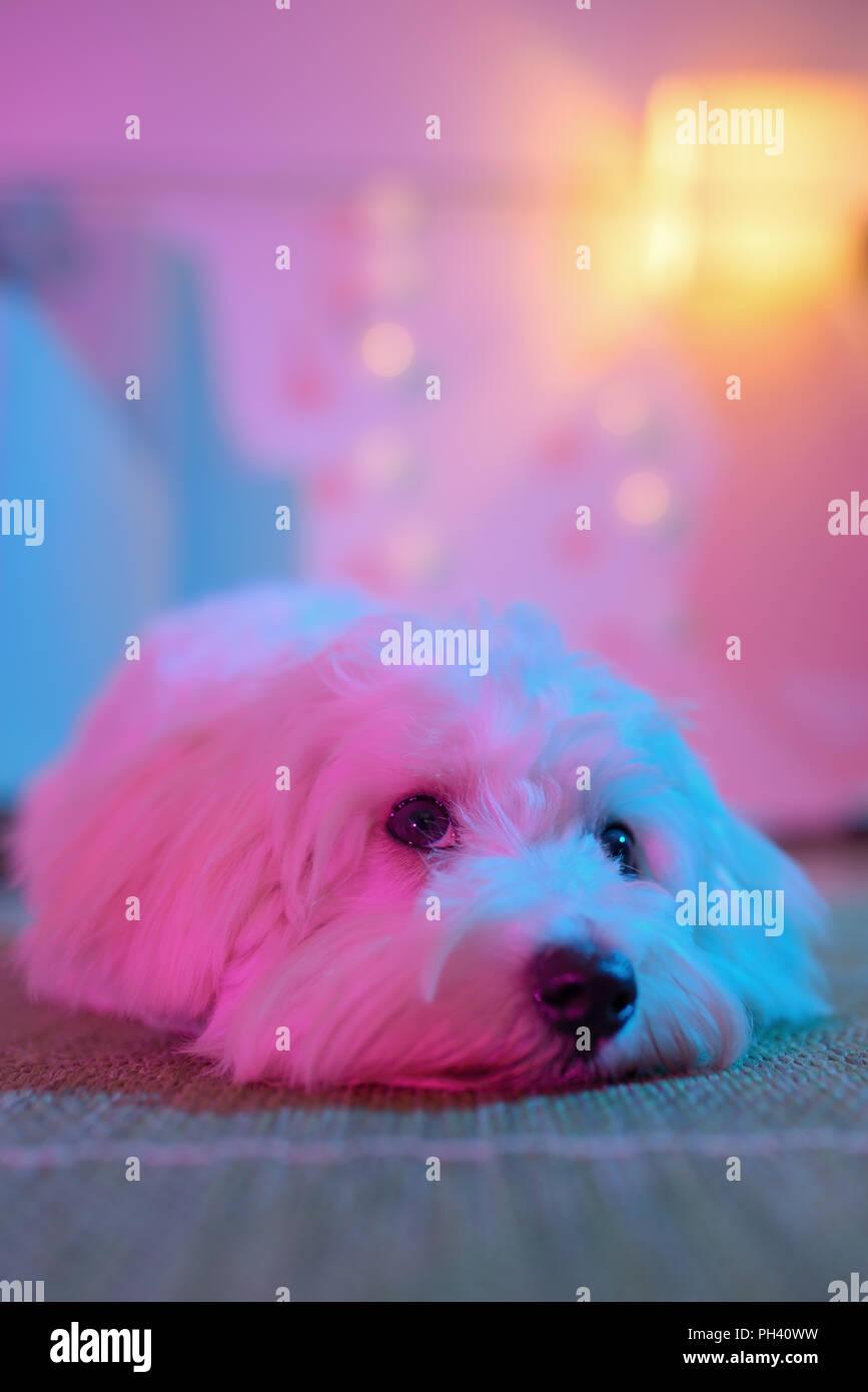 White Cucciolo Di Cane Maltese Seduti A Casa Su Un Tappeto Foto