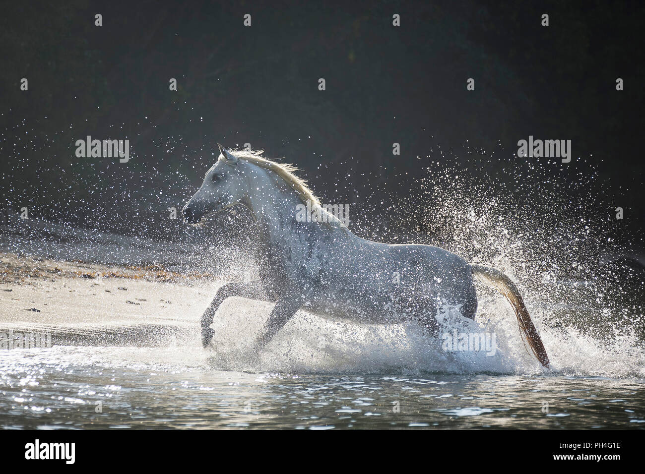 Arabian Horse. Grigio mare al galoppo fuori del mare su una spiaggia tropicale. Seicelle Immagini Stock
