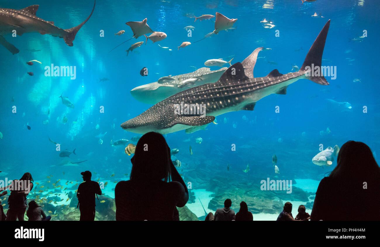 Atlanta Georgia Aquarium offre ai visitatori una splendida vista subacquea come enormi squali balena e una manta ray nuotare con due sommozzatori umani. Immagini Stock