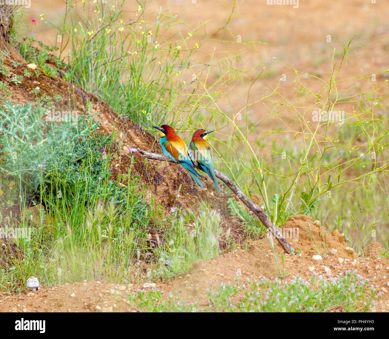 Coppia di unione Gruccioni Merops apiaster nella campagna spagnola vicino a Castrojeriz in Castiglia y Leon Spagna Foto Stock
