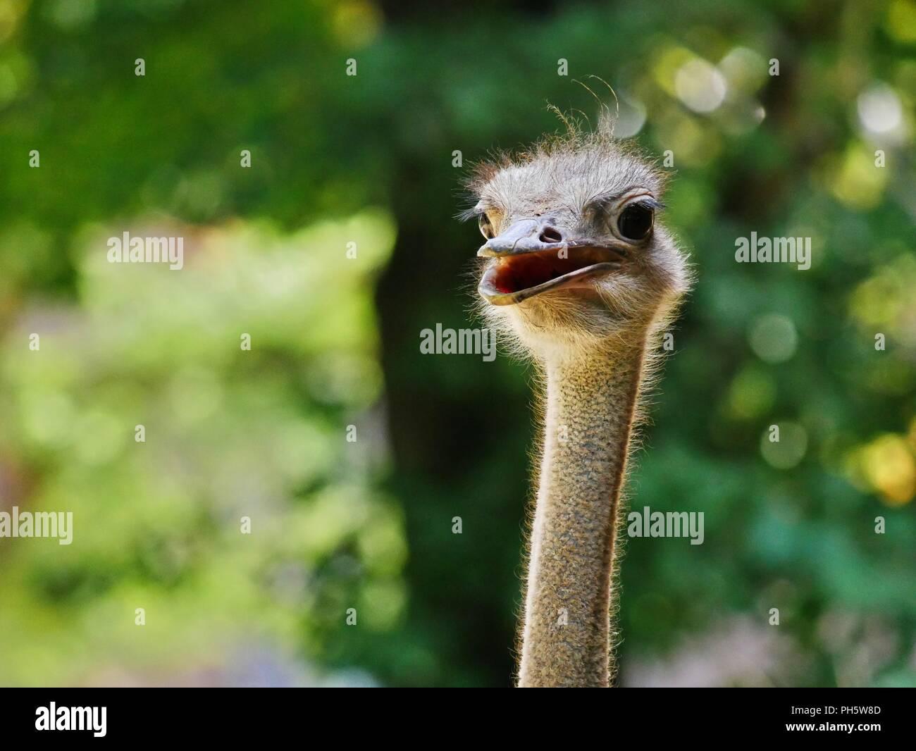 Testa di uno struzzo, scrupoloso closeup, retroilluminato da luce solare, sfondo sfocato Immagini Stock