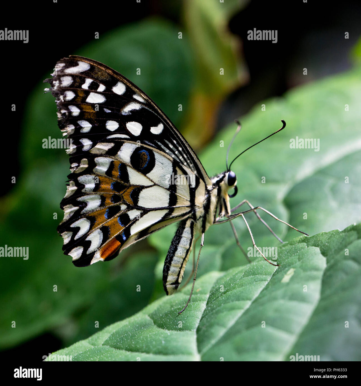 Papilio demoleus, a scacchi a coda di rondine, succo di limone o lime butterfly Immagini Stock