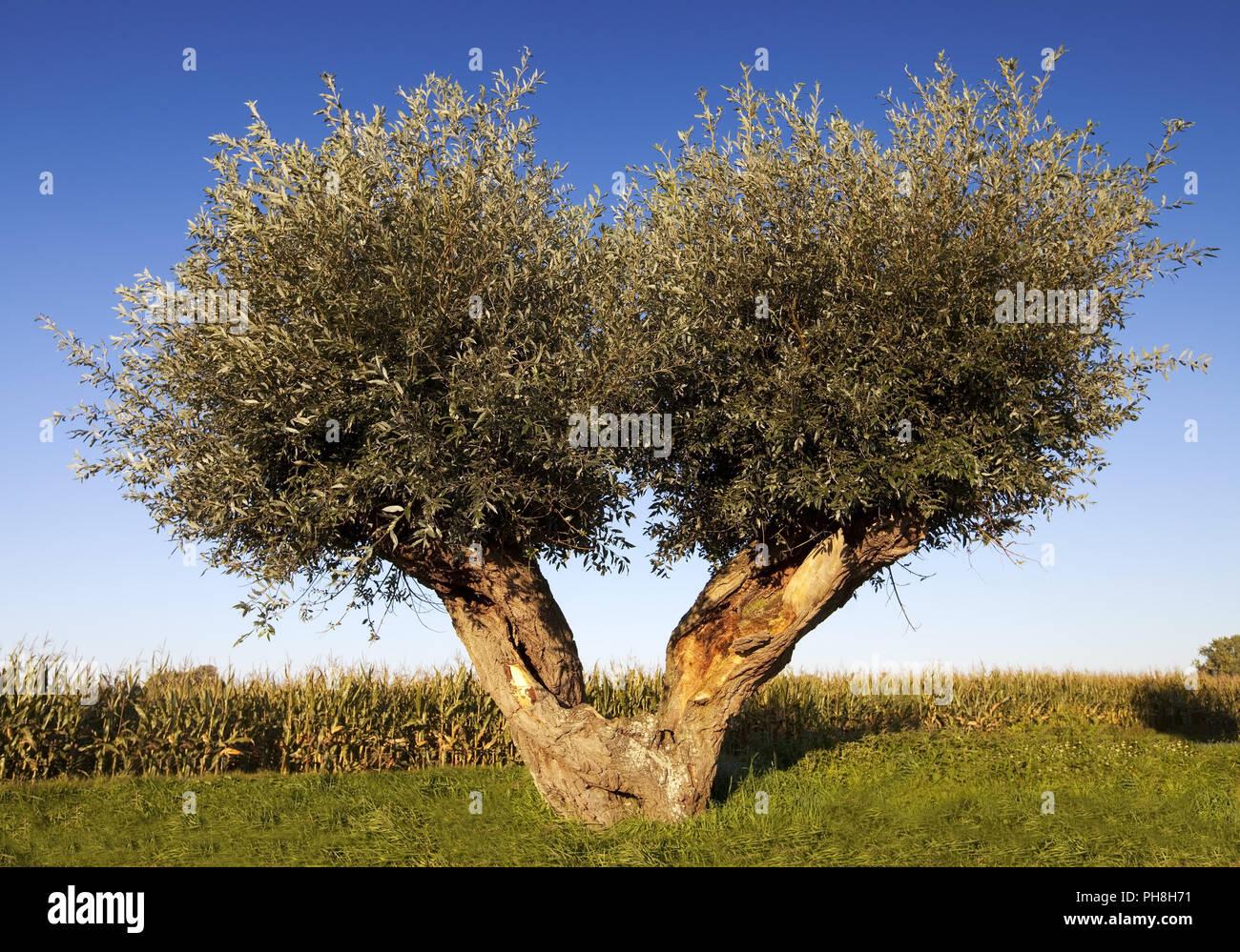 Il salice bianco (Salix alba), Basso Reno, Rees Immagini Stock